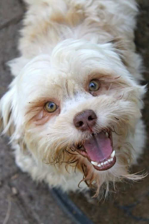 Dog Finder Adopt A Dog Or Cat Near You With Images Lhasa Apso Dogs Adoption