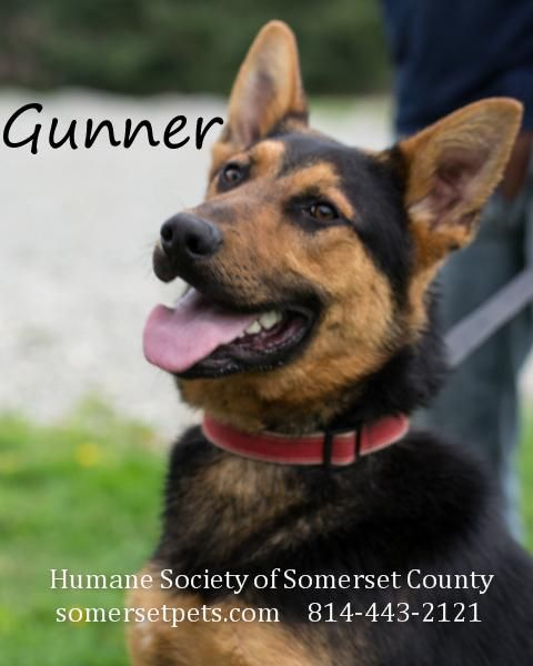 German Shepherd Dog Young Male Large Humane Society Of Somerset County Somerset Pa Gunner Is An Old Friend As He W Humane Society Dog Adoption Animals
