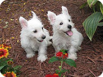 WOODSFIELD, OH Westie, West Highland White Terrier. Meet