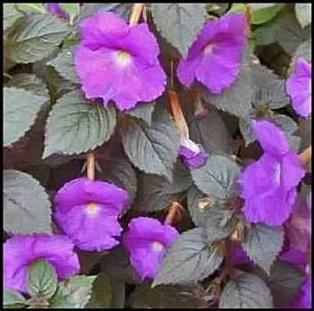 Achimenes Plants | The common name; ' Hot Water Plants' is ...