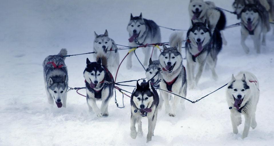 Pictures Of Alaskan Dog Sledding