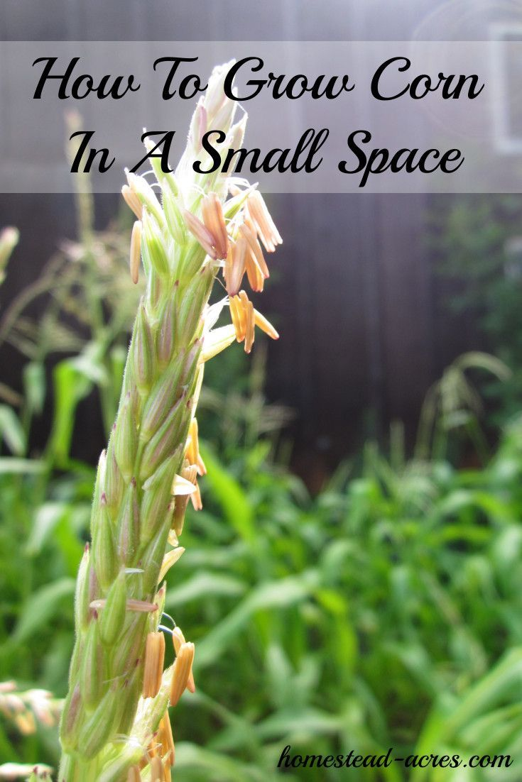 How To Grow Corn In A Square Foot Garden | Corn plant ...