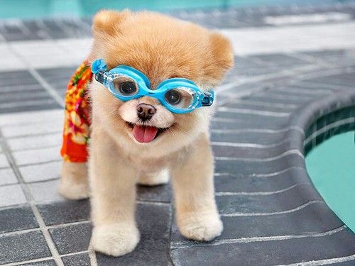 Dog Swimming Boo Cute Puppy Pool Funny Shiwi Cute Animals World
