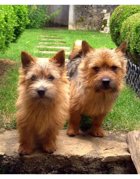 Terrier De Norwich Super Cute Dogs Terrier Dog Breeds Norwich