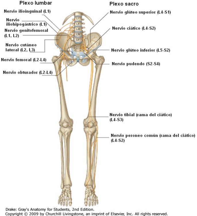 Lujo Distribución Del Nervio Femoral Regalo - Imágenes de Anatomía ...