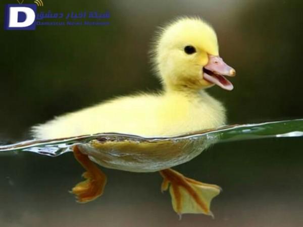 حل لغز أكمل المثل فرخ البط من 4 حروف لغز رقم 4 ماهو اسم صغير البط جاوبني شكرا In 2021 Baby Animals Pictures Duck Wallpaper Cute Baby Animals
