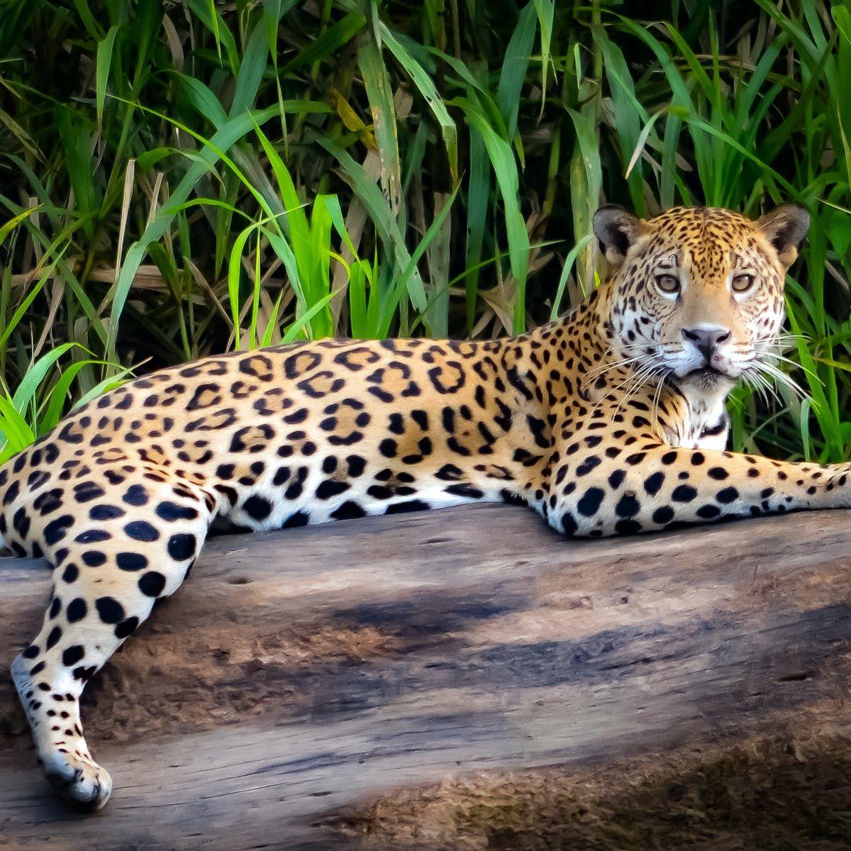 Jaguar in 2020 Jaguar animal, Jaguar animal facts, Bird