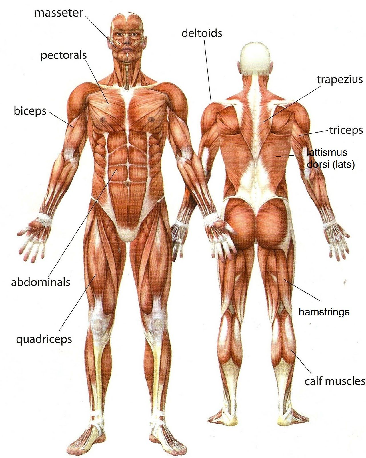 Muscular System Pictures For Kids Human Anatomy Pictures