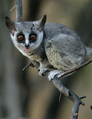 Lesser bushbaby - Sericea, South-Africa