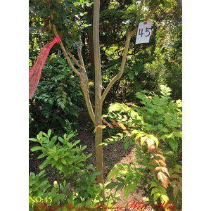 植木 百日紅サルスベリ NO45
