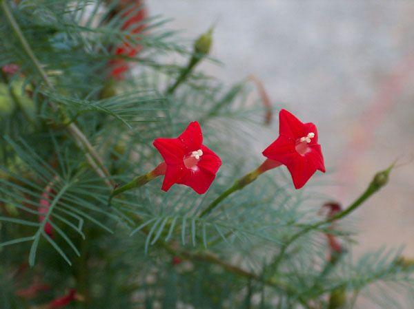 Quamoclit_pennata, Pte grimp.2m, fl rouge vif en été aut, soleil, annuelle que l'on ressème facilement