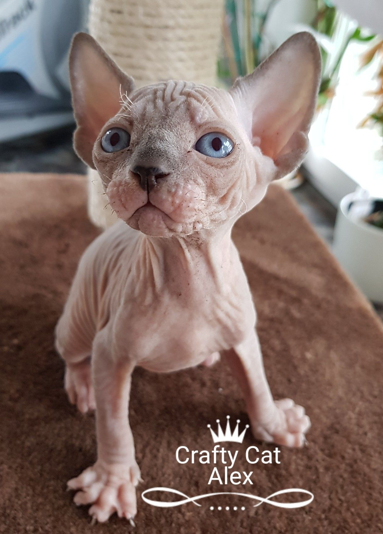 Pin by Crafty Cats Szfinx/Sphynx on Crafty Cats Sphynx
