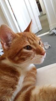 Roter Kater In Berlin Schoneberg Hauskatzenbabys Kaufen Ebay