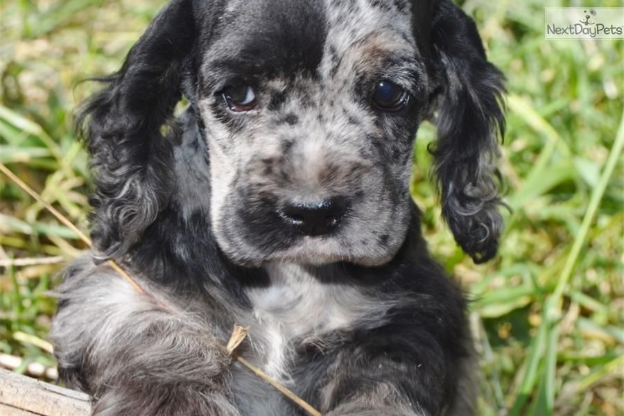Akc Female Merle Cocker Spaniel Puppy For Sale Cocker Spaniel Puppies Spaniel Puppies For Sale Spaniel Puppies