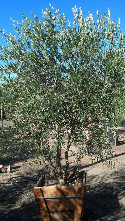 Fruitless Olive Trees Farm Nursery California Olive Trees Landscape Landscape Trees Landscaping Trees