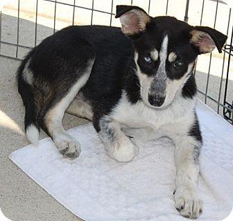 Staunton Va Border Collie Husky Mix Meet Shyla A Puppy For Adoption Puppy Adoption Border Collie Husky Mix Husky Mix