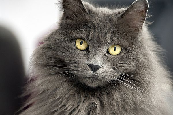 11 Most Popular Long Haired Cat Breeds Around the World | White ...