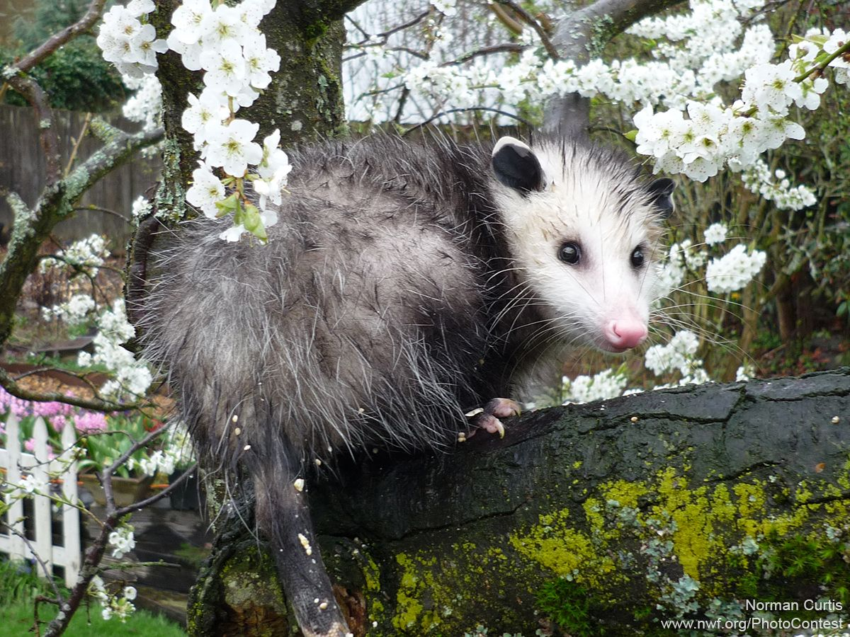 +98 How Do You Get Rid Of Possums In The Backyard | Home Decor