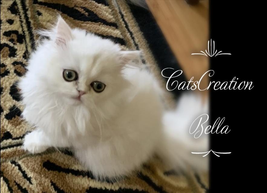 Chinchilla Silver Teacup Persian Kitten Teacup Kitten Teacup Kittens For Sale Persian Kittens
