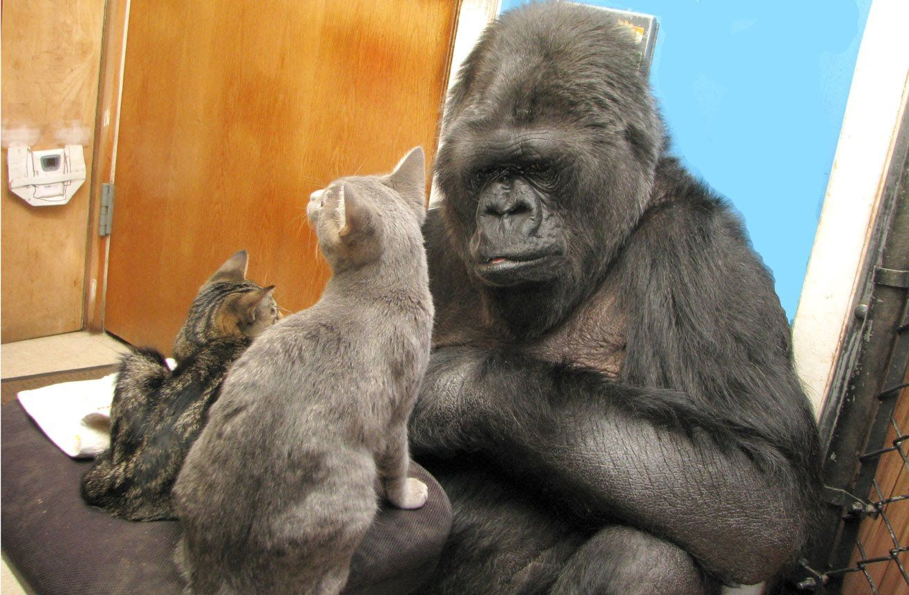 Kokos Kittens Are Growing Koko Kitten Koko Gorilla Gorilla