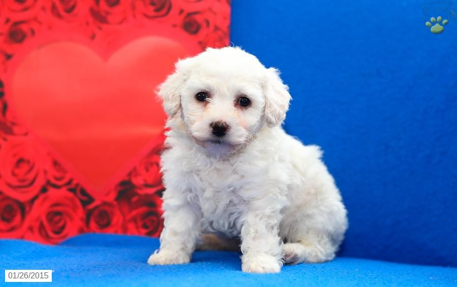 Lilly Bichon Frise Puppy For Sale In Gap Pa Bichon Frise Puppy Bichon Frise Puppies