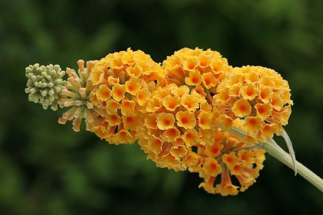 Buddleja X Weyeriana Sungold Bush Plant Butterfly Bush Plants