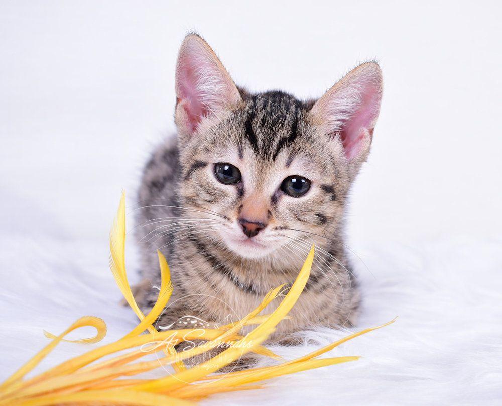 A1savannahs Italia Is An F3 Female Savannah Kitten Kittens Savannah Kitten Cats