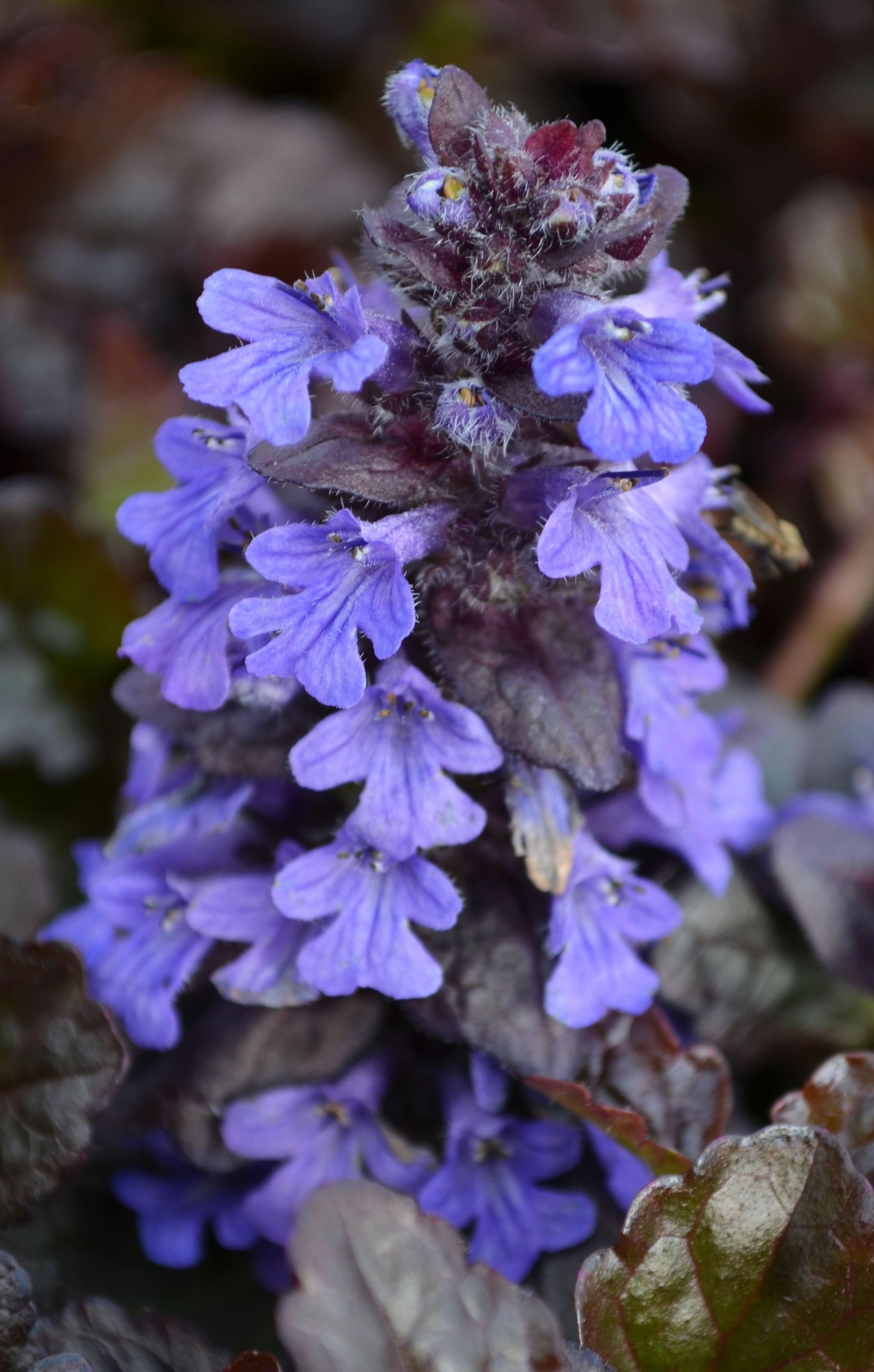 The Black Scallop Ajuga Is A Spreading Ground Covering Perennial