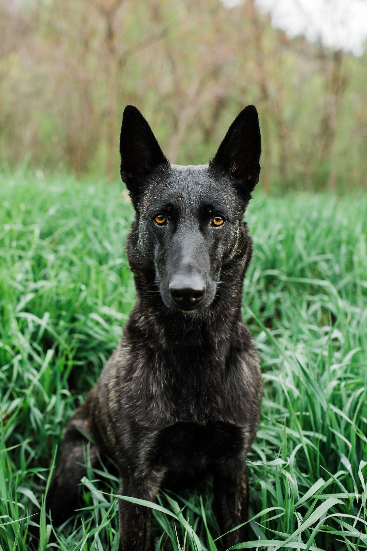 Dutch shepherd allison mae photography puppy