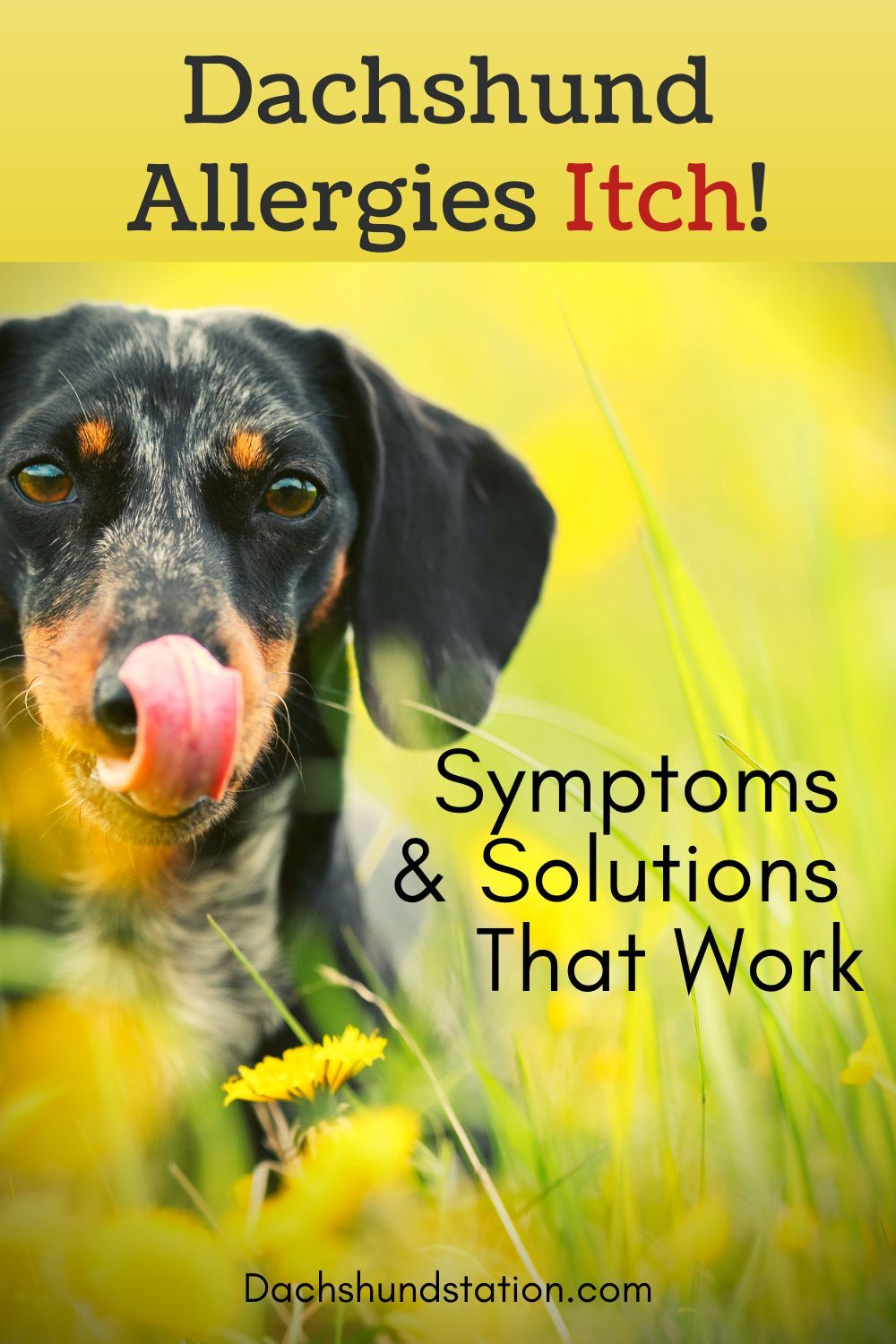Itchy Dachshund Allergies 3 Solutions That Can Help Dachshund Station In 2020 Dog Allergies Dachshund Big Dog Little Dog