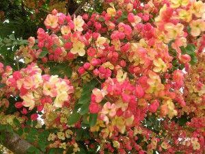 Rainbow Shower TreeCassia x nealiae