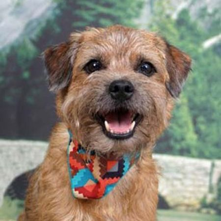 Border Terrier Breed Guide Learn About The Border Terrier