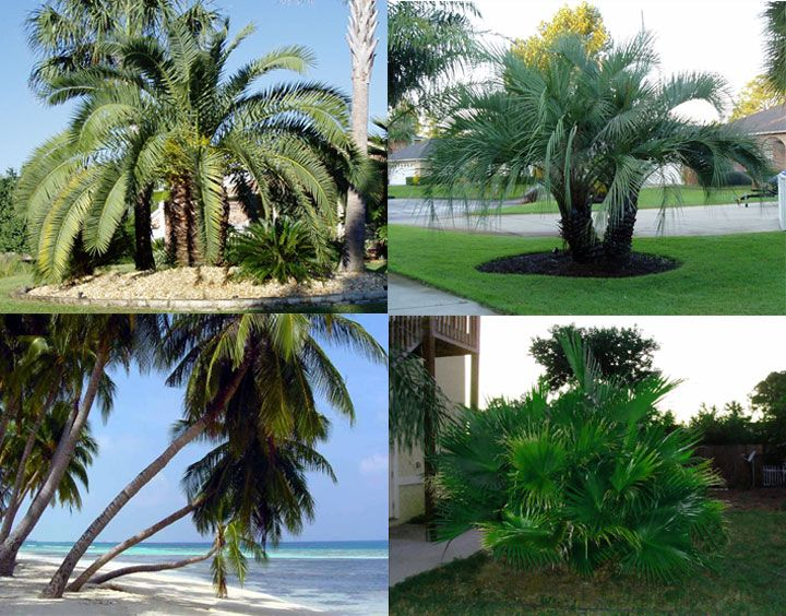 Fertilizing troubleshooting pruning winterizing palm