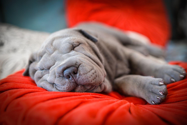 Blue Shar Pei Puppy By Ilnara Tuesheva Photography Shar Pei Puppies Puppies Dog Language