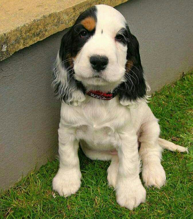 Springer Spaniel Pup - Very uniquely marked ♡