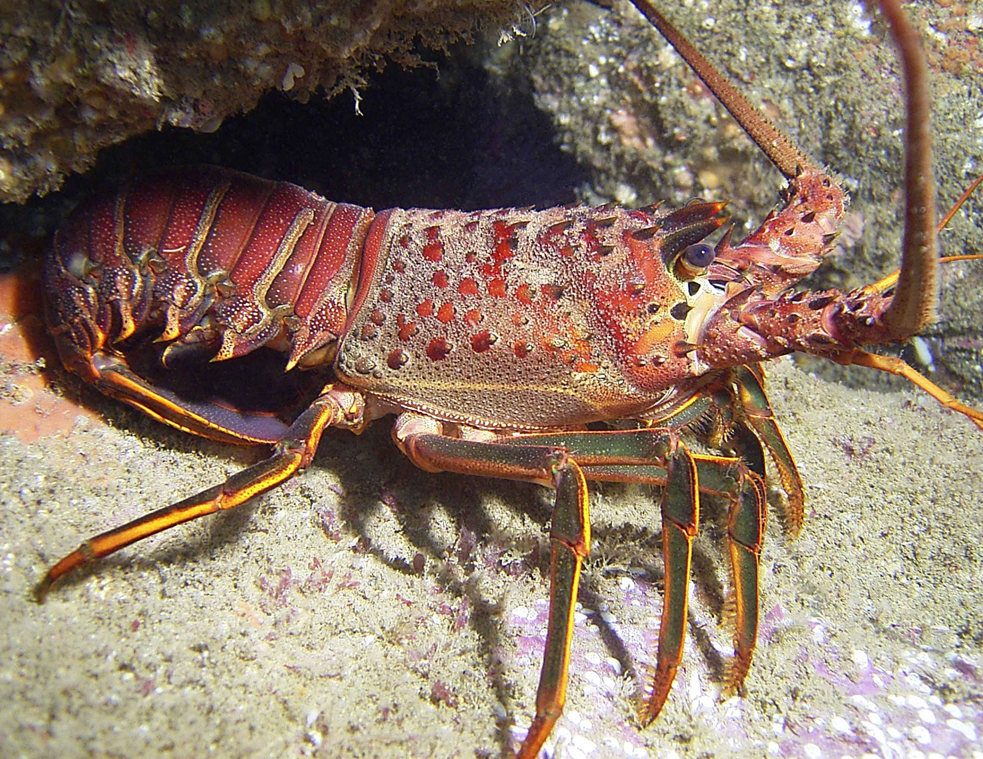 spiny-Lobster | PINTURA | Pinterest | Fish, Creatures and Sea