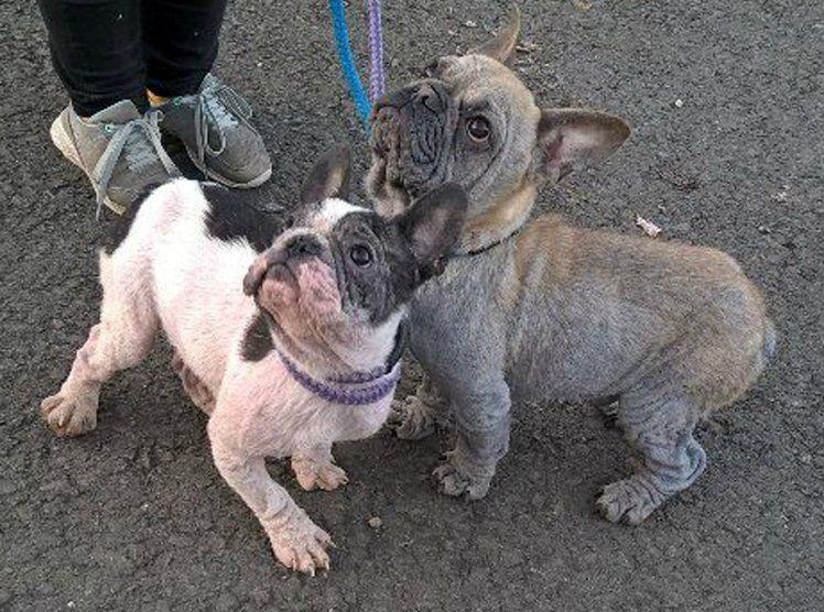 Brindle french bulldog rescue