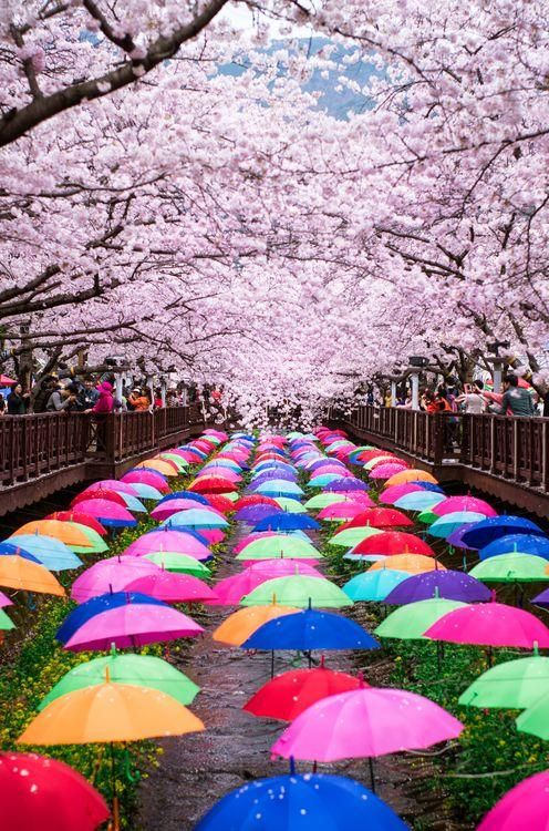 Korea Cherry Blossom Festival Photo By Jessica W National Geographic Your Shot Cherry Blossom Festival South Korea Photography South Korea Travel