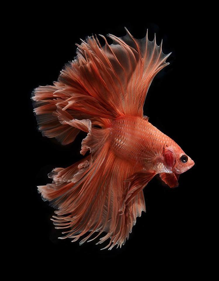 攝影師visarute Angkatavanich鏡頭下的魚兒 擁有宛如穿了隆重長禮服般的華麗姿態 小編表示 整個栩栩如生跟真的一樣阿 水族館の魚 淡水魚 ベタ