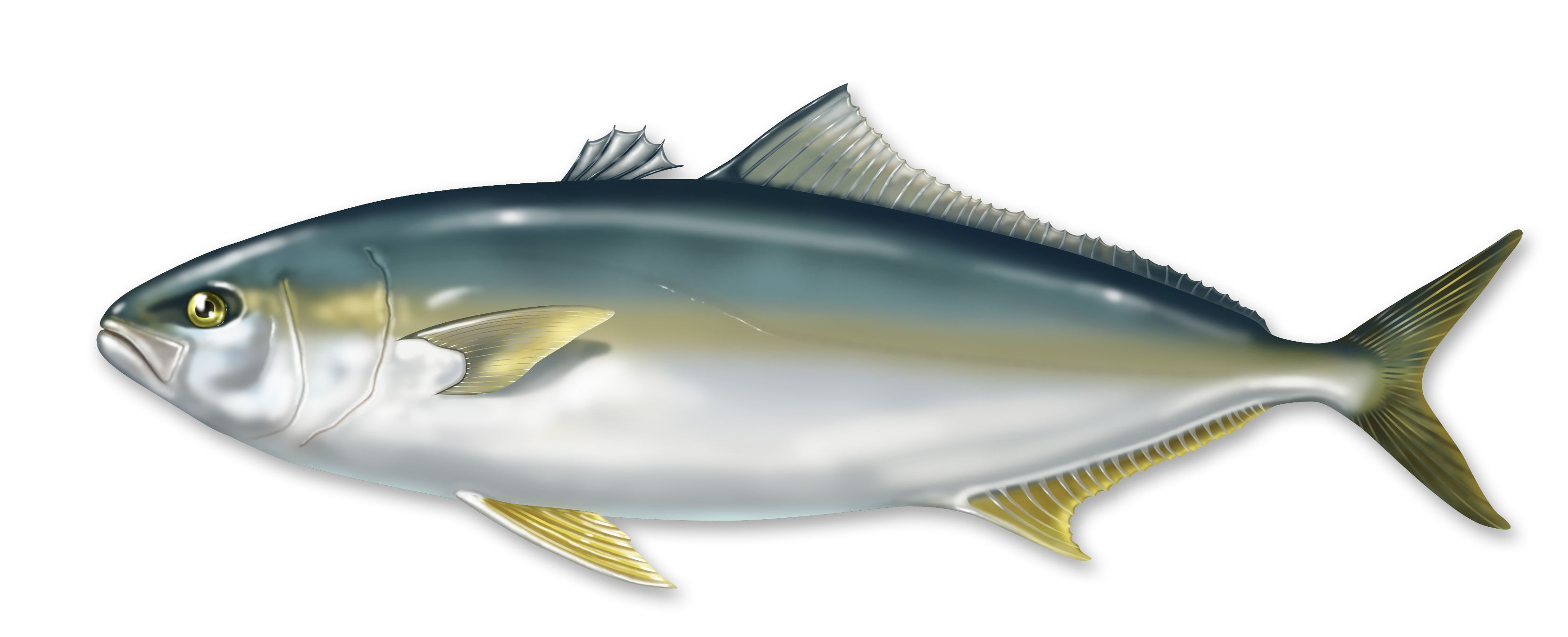 Amberjack hamachi protein pinterest fish and fish for Protein in fish