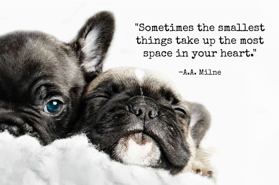 Words Of Wisdom From A A Milne French Bulldog Quotes French