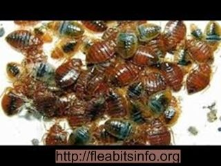 Signs Of Bed Bugs Do Bed Bugs Have Wings How To Treat Bed Bug