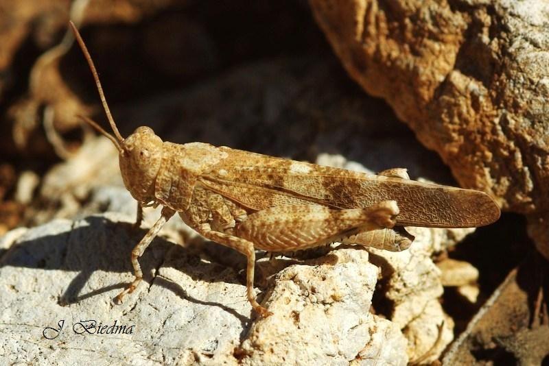 Acrídido - Invertebrados - photo-b.com