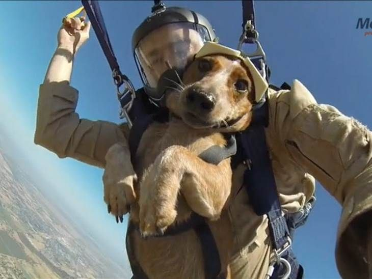 Dachshund Sky Dives With Owner Stores That Allow Dogs Dog Adventure Puppy Friends
