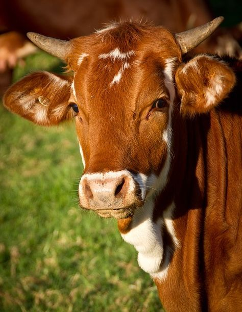 Kostenloses Bild Auf Pixabay Kuh Tier Vieh Rinder Kuh Kuhe Und Kalber Susse Kuhe