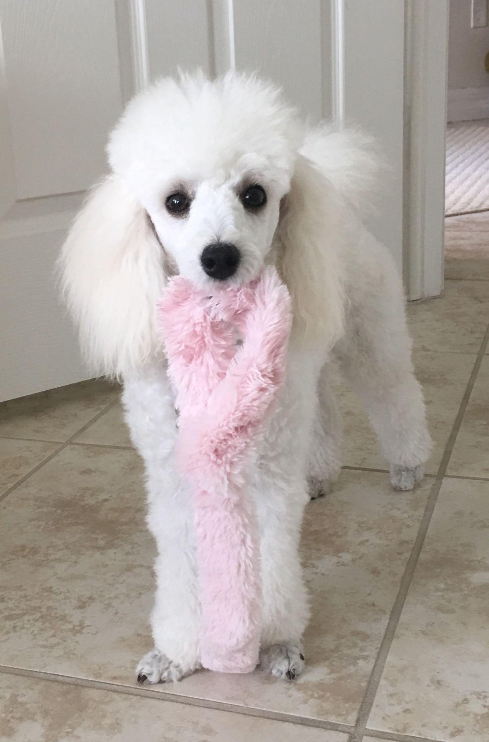 So Sweet Looking Schnauzer Puppy Miniature Schnauzer Puppies