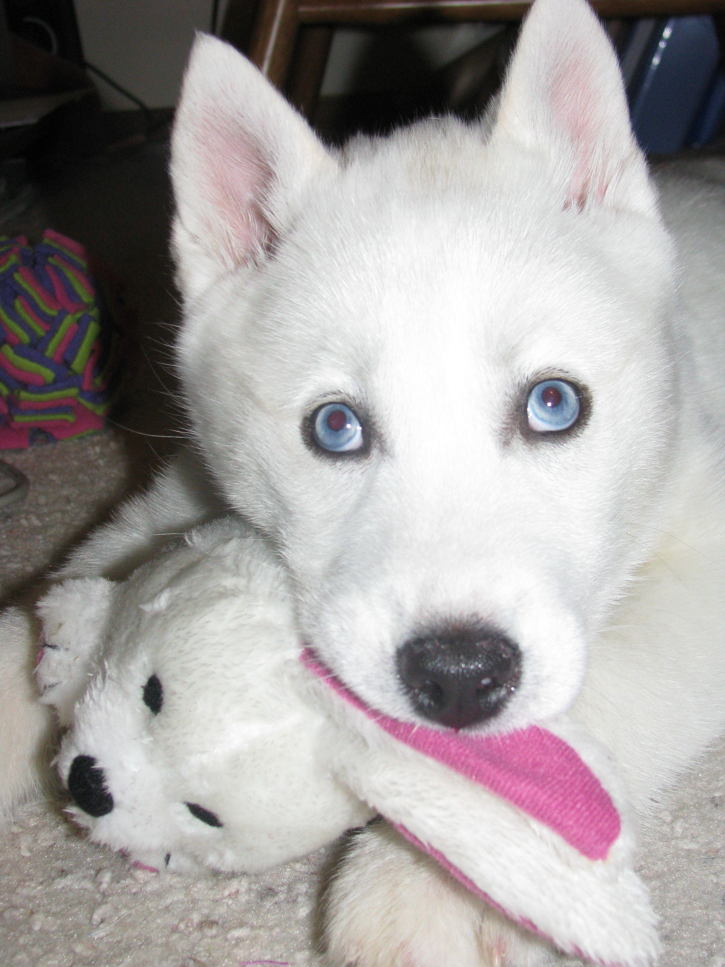 Beautiful Blue Eyed White Siberian Husky Named Maya Looks Like A