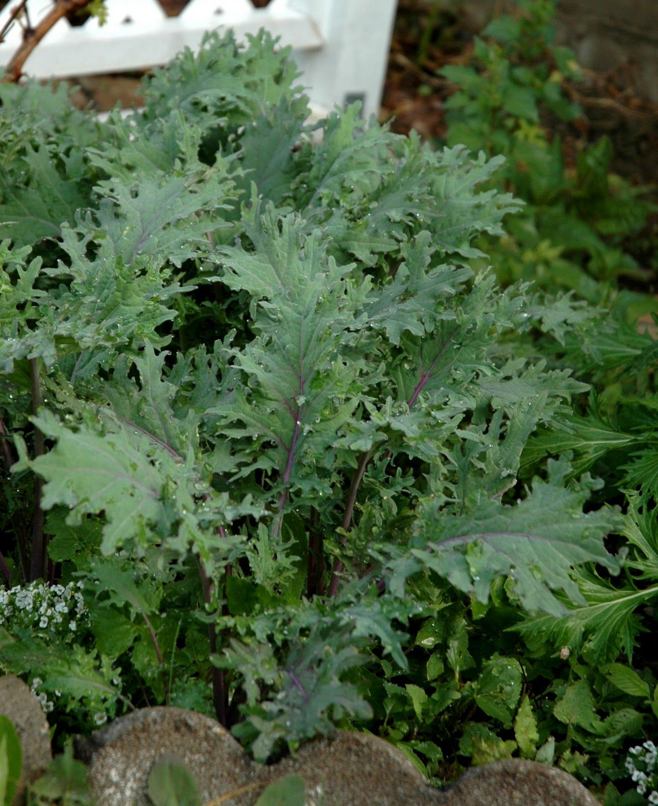 Planting Kale In Pots: Grow Kale From Cuttings. Propagating Kale From The Garden