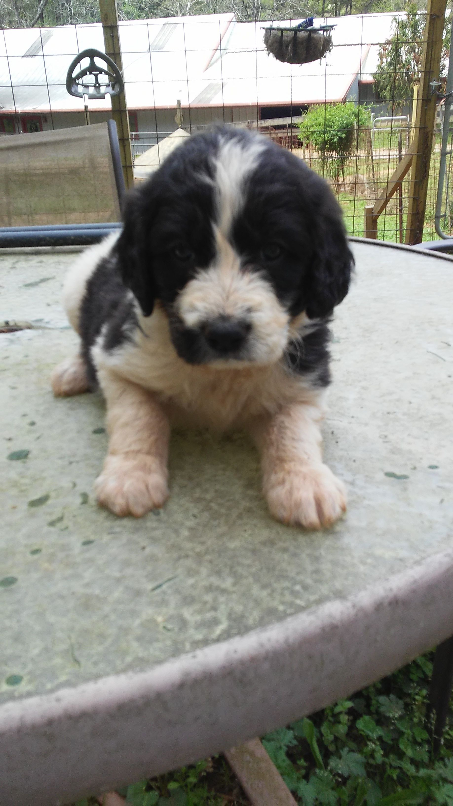 Pyredoodle Puppies For Sale Georgia References