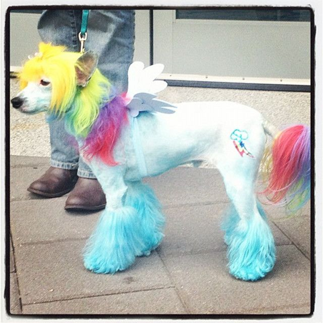 By My Little Pony Dog Cosplaying As Rainbow Dash From My Little